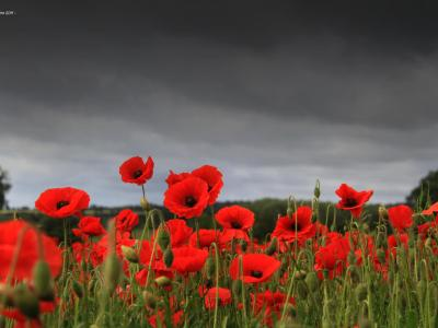 Remembrance Poppies 02