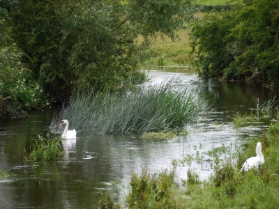 Thame River with swans